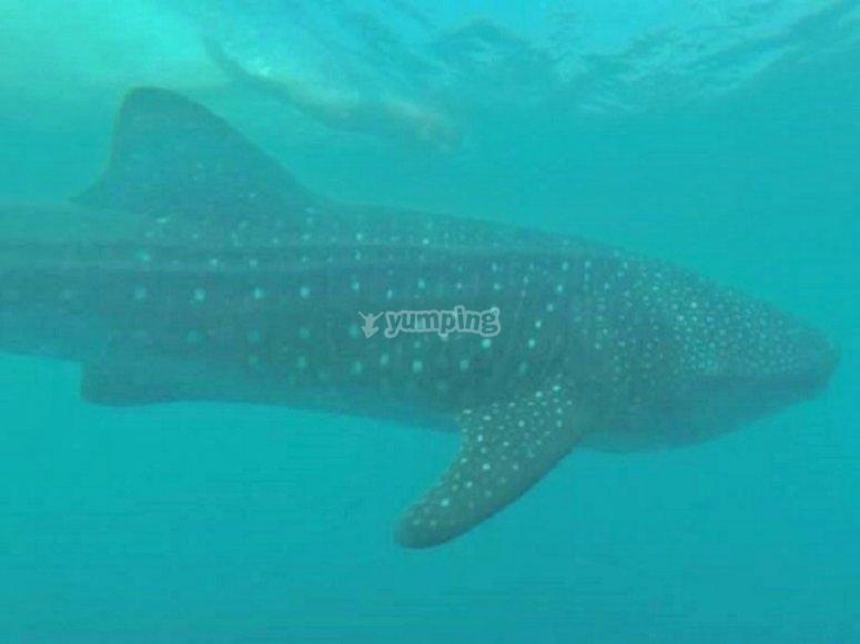Admira al tiburón ballena