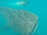5 h. Private expedition with Whale Shark