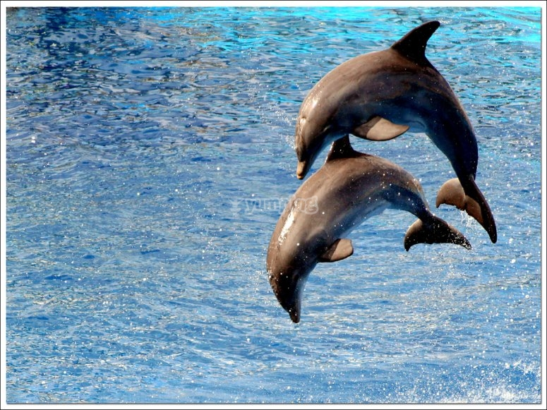 vtr two dolphins jumping