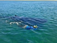 Nado con Tiburón Ballena 2 Hrs en BCS.