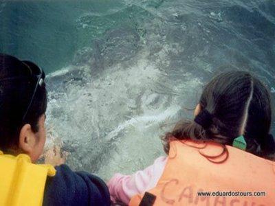 Avistamiento de Ballena gris  2 hrs en La Paz, BCS