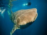 Nado con tiburón ballena en Isla Mujeres, 5h