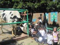 Convivencia con la vaca