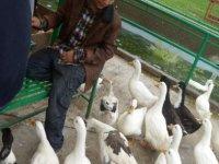 Patos de la granja