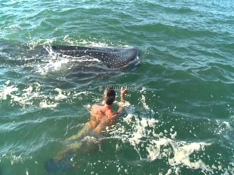 con el tiburon ballena.