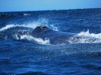 Ballenas grises y jorobadas