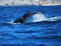 Cola de ballena gris