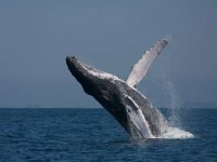 Gray whale jump