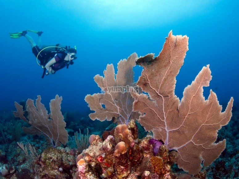 Diving with the corals