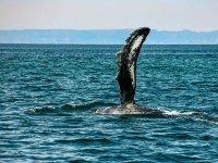 Avistamiento de ballenas grises