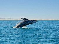 Ballenas jorobadas en Cabos San Lucas