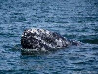 Increíble experiencia ver a las ballenas grises  en su hábitat  natural