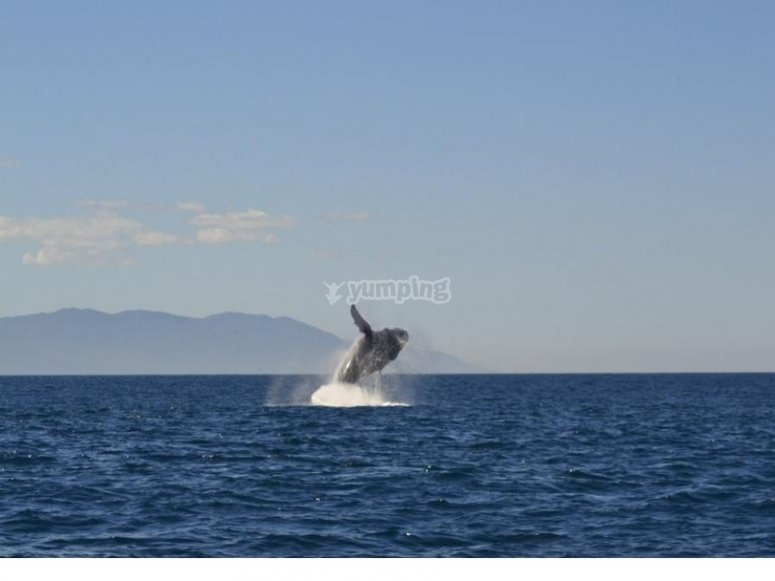 Salto de ballena en la costa del Pacifico