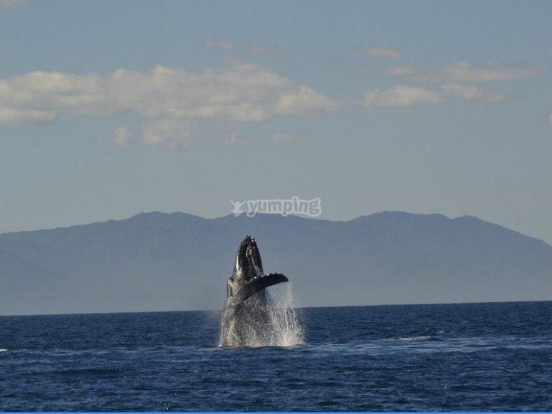 Salto de Ballena en el oceano pacifico