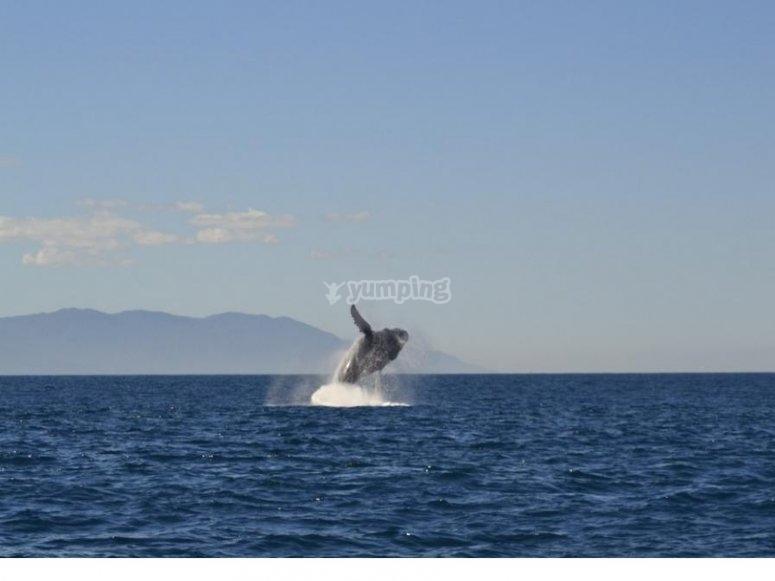 Contempla el salto de las ballenas en Puerto Vallarta
