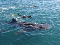 Unforgettable experience at swim with the whale sharks
