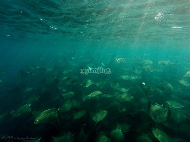 rayas en el mar
