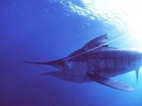 Fishing swordfish