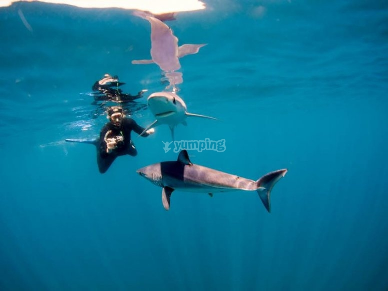 shark en baja