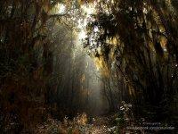 Mesofilo forest