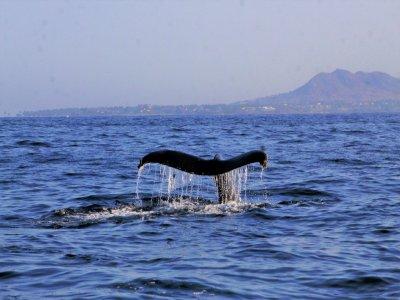 Avistamiento de Ballenas Bahía de Banderas, 2.5 h