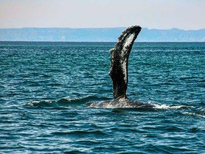 Sea Kayak Baja México Whale Watching