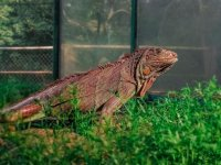 Hermosa iguana