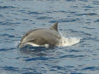 Delfin silvestre