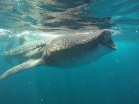 Tiburones ballena en su hábitat natural