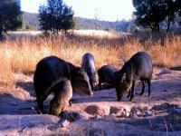 Hunting of Jabalies
