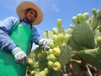 Collecting prickly pears
