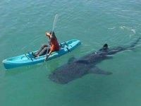 Kayak con tiburon ballena