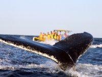 Ballenas grises en el pacifico