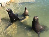 Leones marinos saludando