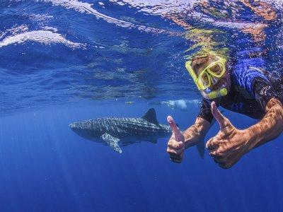 Nado con tiburón ballena con comida