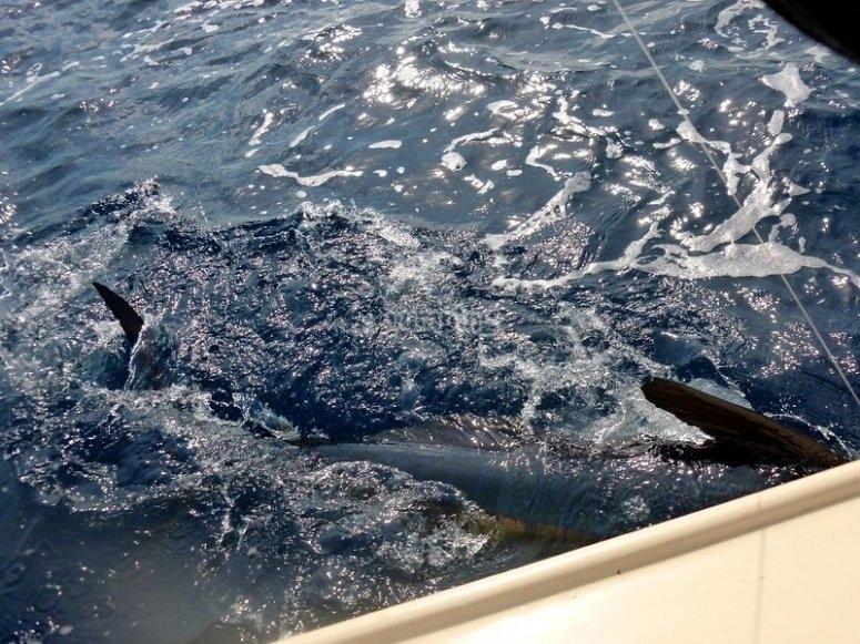 Marlin en mar