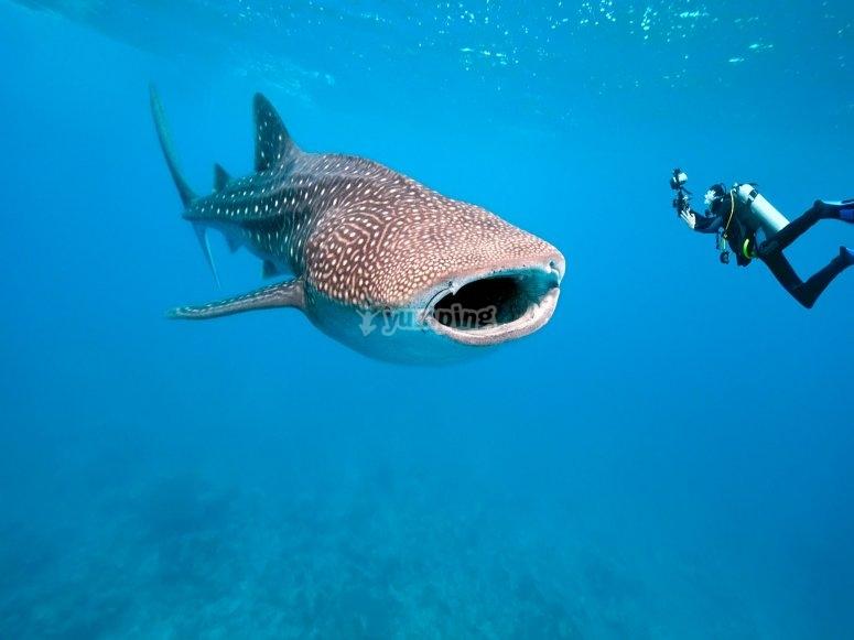 Nado con tiburon