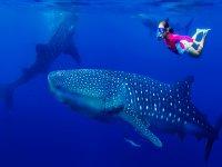 Nado con tiburón ballena Riviera Maya