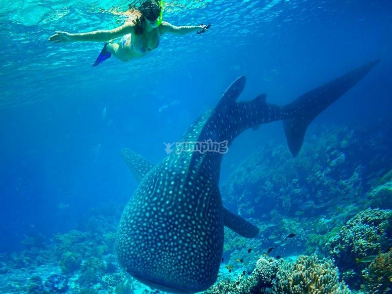 Nada con tiburon ballena
