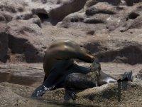 Colony of sea lions