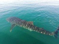 Spectacular whale shark