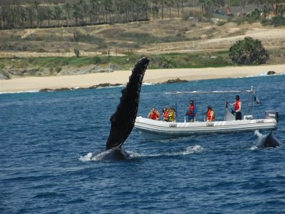 Cabo Eco Tours Whale Watching