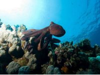 Octopus in Zacatoso