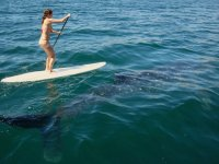SUP con tiburon ballena