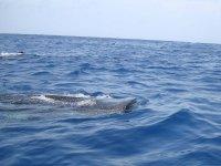 Tiburón ballena asomándose
