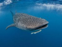 Espectacular tiburón ballena