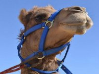 camels and rides