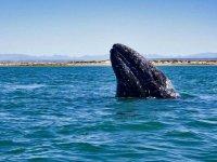 Ballenas grises en el Pacifico Mexicano