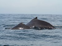 Familias de ballenas