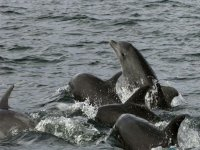 Delfines boca de botella